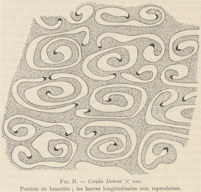 Van Beneden; de Selys Longchamps (1913, fig. B)