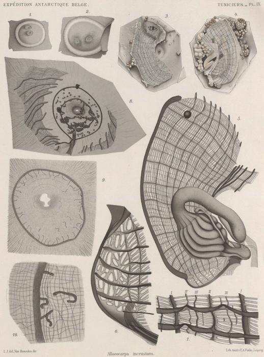 Van Beneden; de Selys Longchamps (1913, pl. 09)
