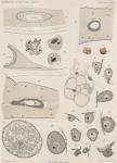Van Beneden; de Selys Longchamps (1913, pl. 10)