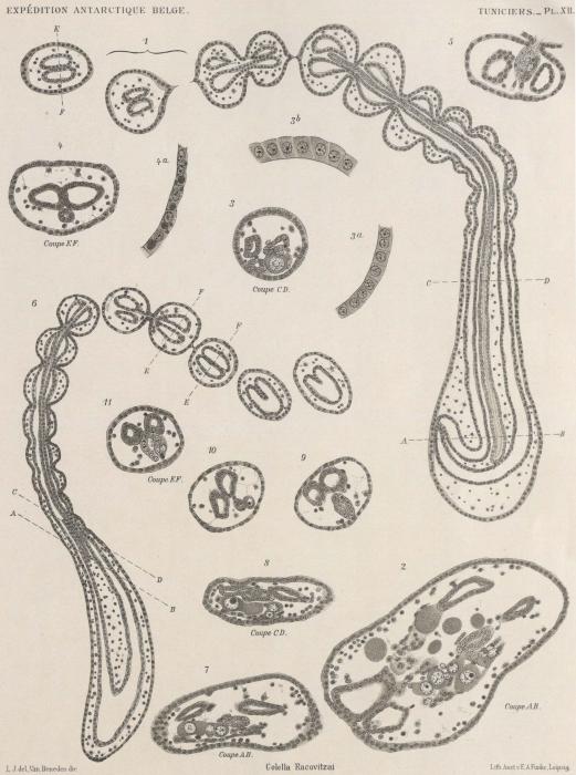 Van Beneden; de Selys Longchamps (1913, pl. 12)