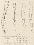 Leboucq (1904, fig. 3)