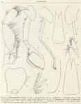 Eusirus microps & Eusirus perdentatus [from Ruffo (1949)]