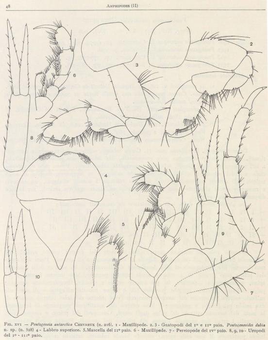 Pontogeneoides dubia (Ruffo, 1949)