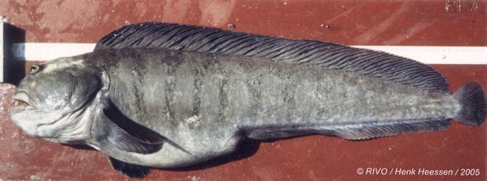 Anarhichas lupus Linnaeus, 1758