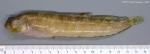 Chirolophis ascanii (Walbaum, 1792)