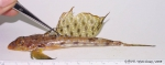 Callionymus reticulatus Valenciennes in Cuvier & Valenciennes, 1837