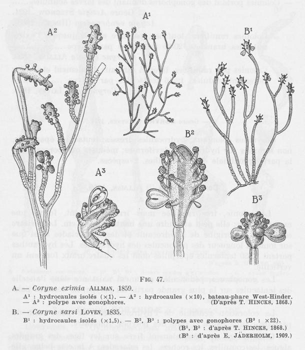 Leloup (1952, fig. 47)