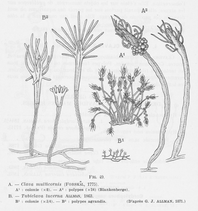 Leloup (1952, fig. 49)