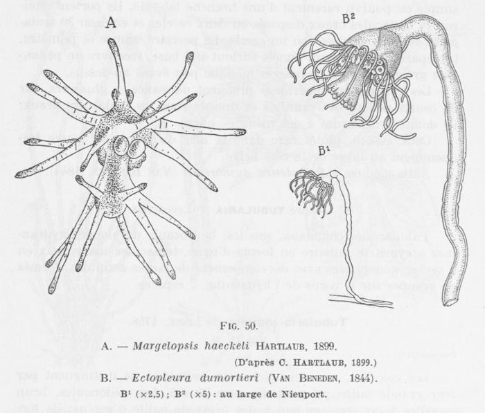 Leloup (1952, fig. 50)