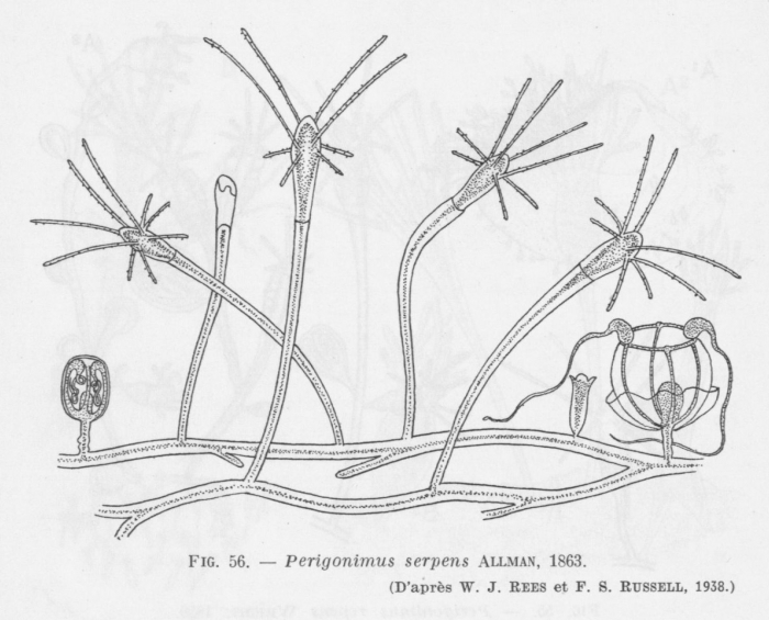 Leloup (1952, fig. 56)