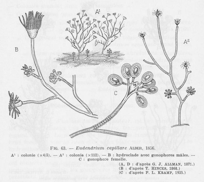 Leloup (1952, fig. 63)