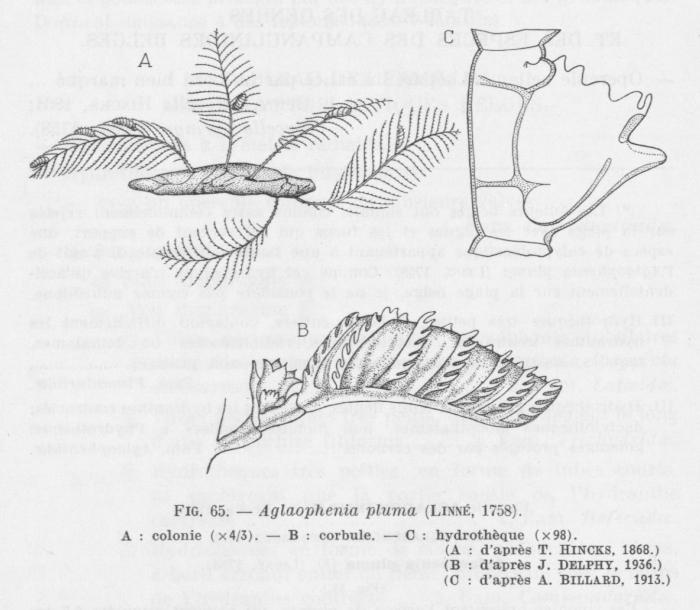 Leloup (1952, fig. 65)
