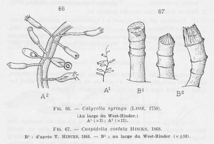 Leloup (1952, fig. 66 & 67)