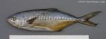 Campogramma glaycos (Lacepède, 1801)