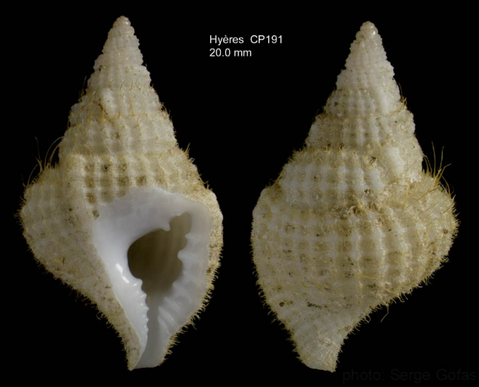 Personopsis grasi (Bellardi in d'Ancona, 1872)Specimen collected alive on Hyères seamount, 31°30.2'N  28°58.9'W, 295 m, 'Seamount 2' CP191 (size 20 mm)