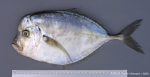 Selene dorsalis (Gill, 1863)