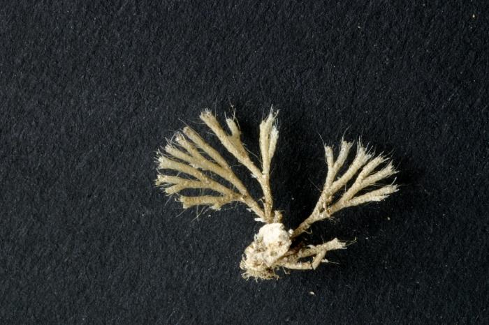 Caberea boryi (Audouin, 1826)