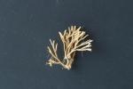 Scrupocellaria scrupea Busk, 1852