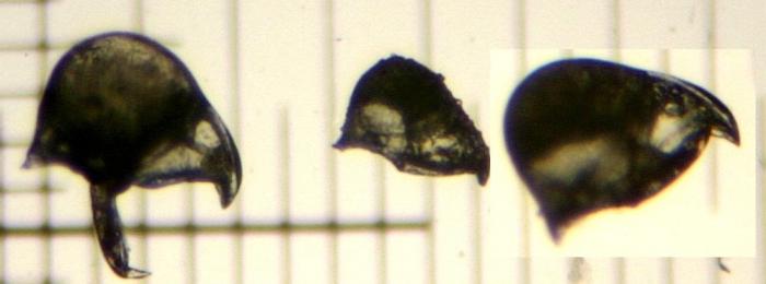 Bugula fulva Ryland, 1960