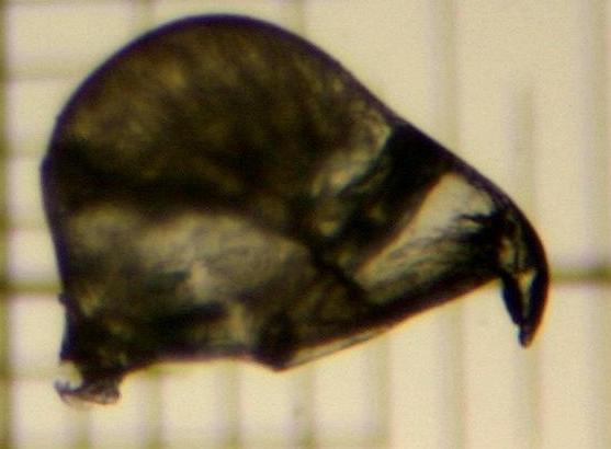 Bugula flabellata (J V Thompson, in Gray, 1848)