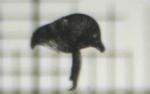 Bugula simplex Hincks, 1886