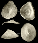 Kaiparapelta askewi McLean & Harasewych, 1995