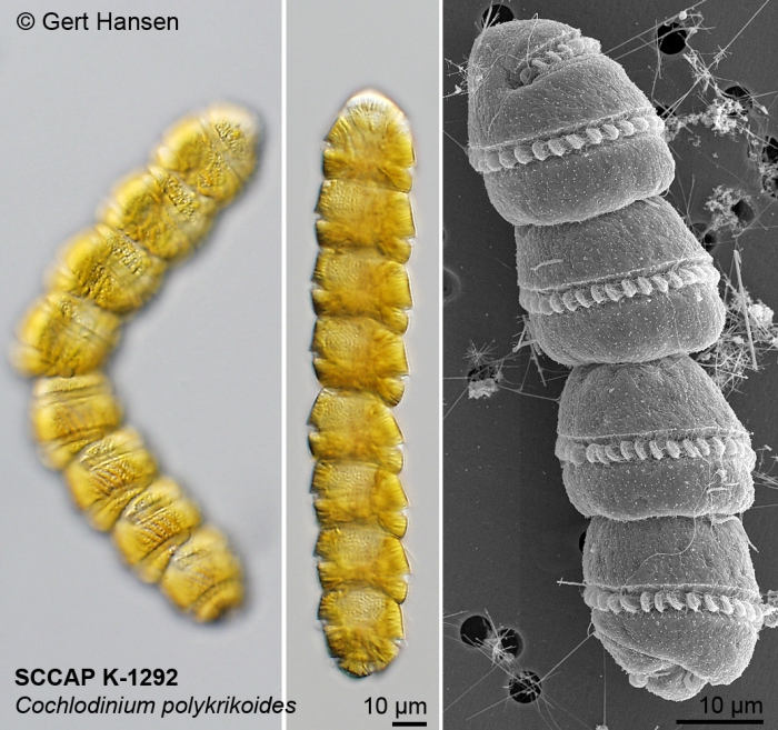 Cochlodinium polykrikoides