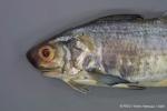 Galeoides decadactylus (Bloch, 1795)