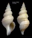 Teretia teres (Reeve, 1844)Specimen from Ampère seamount, 35°03'N, 12°55'W, 300-325 m, 'Seamount 1' DE98 (actual size 11.5 mm)