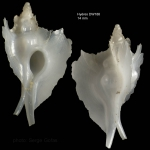 <i>Pterynotus atlantideus</i> Bouchet &amp; Warén, 1985</b>Specimen from Hyères seamount, 31°30.0'N, 28°59.5'W, 300-310 m, 'Seamount 2' DW 188 (actual size 14 mm)