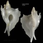 Pterynotus atlantideus Bouchet & Warén, 1985Specimen from Hyères seamount, 31°30.0'N, 28°59.5'W, 300-310 m, 'Seamount 2' DW 188 (actual size 14 mm)