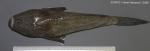 Uranoscopus scaber Linnaeus, 1758