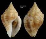 Cytharomorula grayi (Dall, 1889)Specimen from Seine seamount, 33°44'N, 14°23'W, 190-198 m, 'Seamount 1' DW69 (actual size 17 mm)