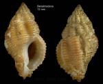 Ocinebrina aciculata (Lamarck, 1822)Specimen from Benalmádena, S. Spain (actual size 12 mm)