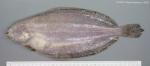 Glyptocephalus cynoglossus (Linnaeus, 1758)