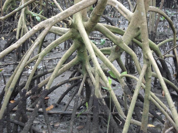 Rhizophora mangle L.