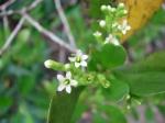 Lumnitzera racemosa