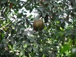 Xylocarpus granatum