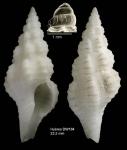 <i>Fusinus bocagei</i> (P. Fischer, 1882)</b>Specimen from Hyères seamount, 31°24.4'N, 28°52.3'W, 705 m, 'Seamount 2' DW184 (actual size 23.2 mm)
