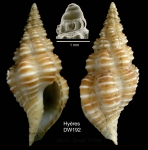 Latirus rugosissimus (Locard, 1897)Specimen from Hyères seamount, 31°27.9'N,  28°59.1'W, 750 m,  'Seamount 2' DW192 (actual size 20 mm)