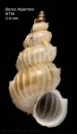 Epitonium hispidulum (Monterosato, 1874)Specimen from Djibouti Bank, Alboran Sea, 349-365 m (actual size 3.4 mm)
