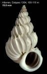 Epitonium celesti (Aradas, 1854)Shell from off Alboran island, 100-110 m (actual size 19.8 mm)