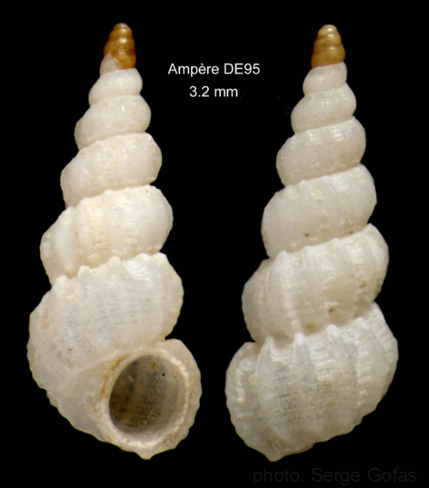 Opalia abbotti Clench & Turner, 1952Shell from Ampère seamount, 35°04.6'N, 12°55.3'W, 197-210 m,  'Seamount 1' DE95 (actual size 3.2 mm)