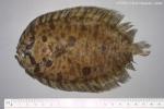 Zeugopterus punctatus (Bloch, 1787)