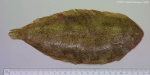 Pegusa lascaris (Risso, 1810)
