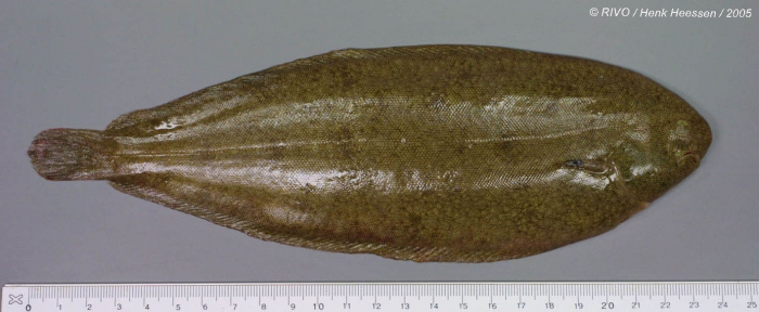 Solea solea (Linnaeus, 1758)
