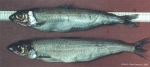 Argentina silus (Ascanius, 1775)