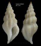 Amiantofusus amiantus (Dall, 1889)Specimen from Hyères seamount, 31°19.1'N  28°36.0'W , 1060 m, 'Seamount 2' DW200 (actual size 20.1 mm)