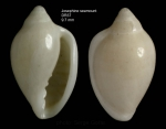 Marginella colomborum  (Bozzetti, 1995)Specimen from Josephine seamount, 36°42'N, 14°18'W, 255-270 m, 'Seamount 1' DW37, (height 9.7 mm)