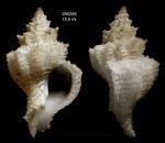 Babelomurex atlantidis Oliverio & Gofas, 2006Holotype from Atlantis seamount, 33°59.8'N, 30°12.1'W, 420 m, 'Seamount 2' DW258 (actual size 15.5 mm)
